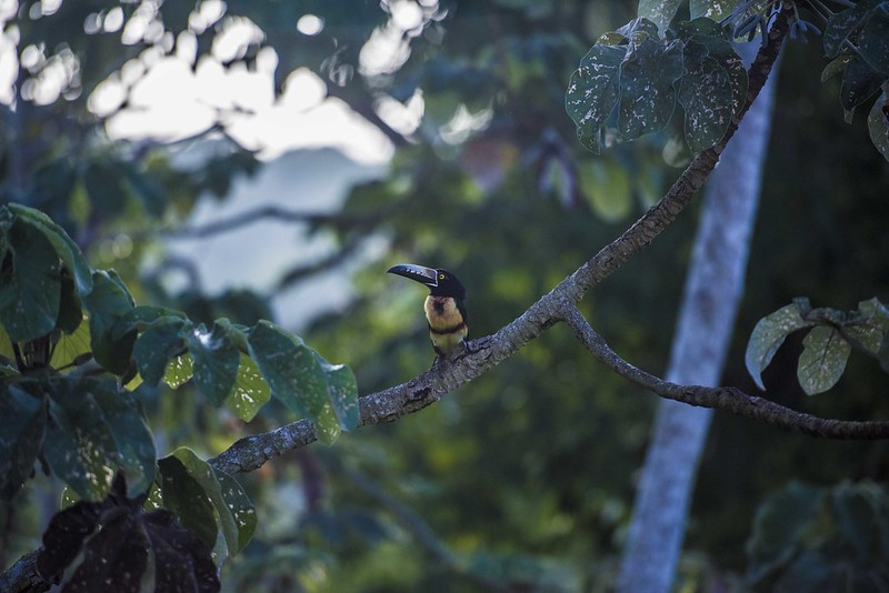Aracari | 7 Weird animals you didn't know existed in Belize
