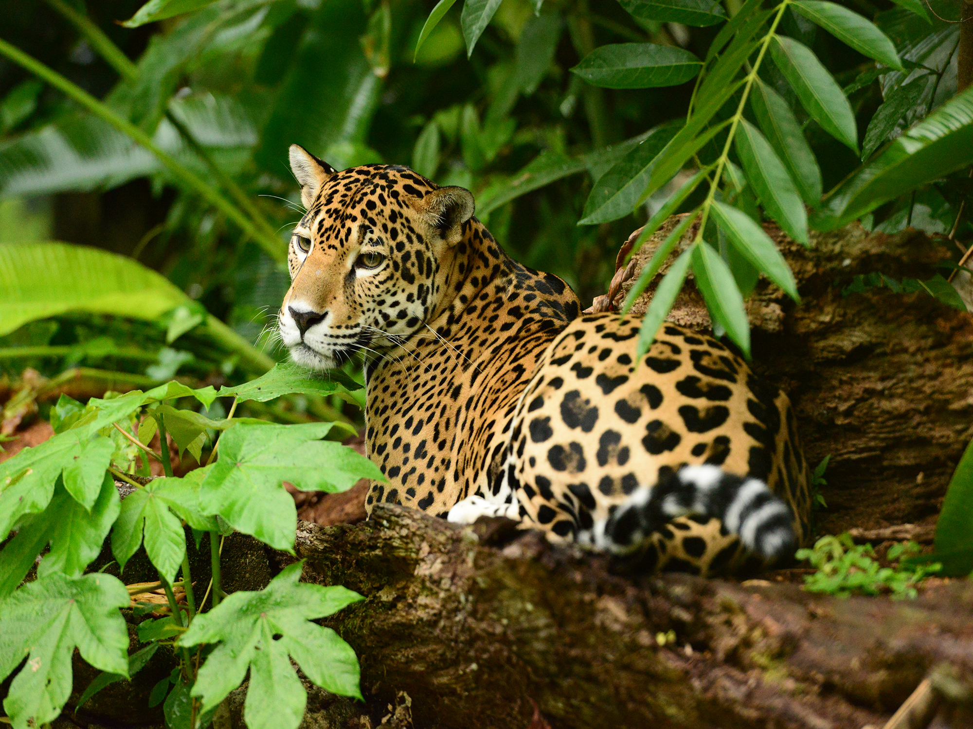 What to know before traveling to Belize jaguar