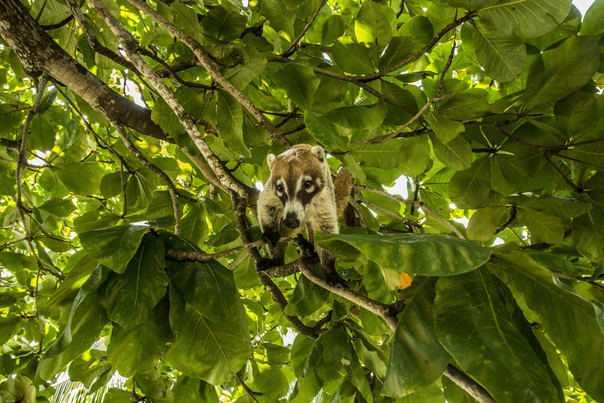 Coatis | 7 Weird animals you didn't know existed in Belize