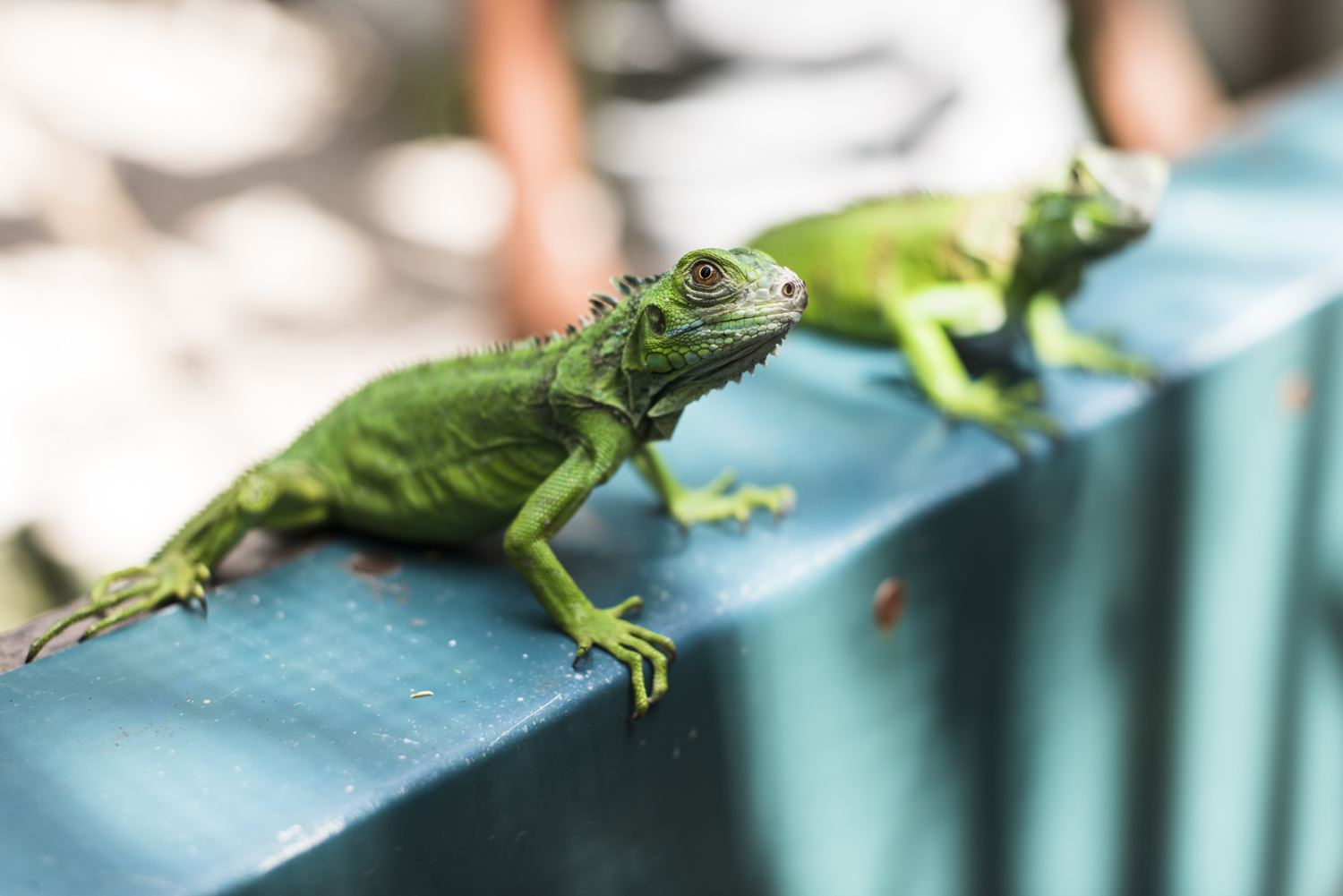 9 Places in Belize for Animal Lovers iguana