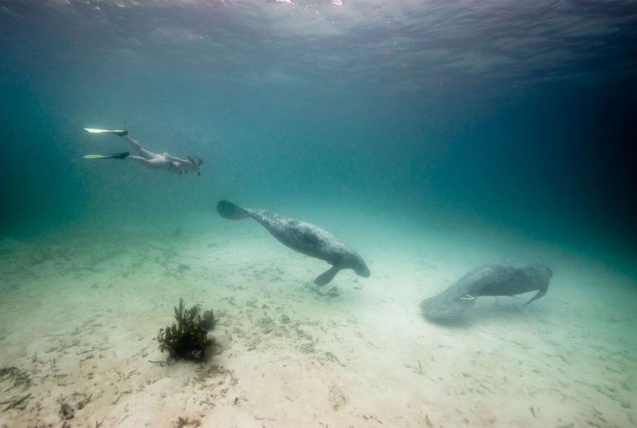 Swimming with Manatee Belize