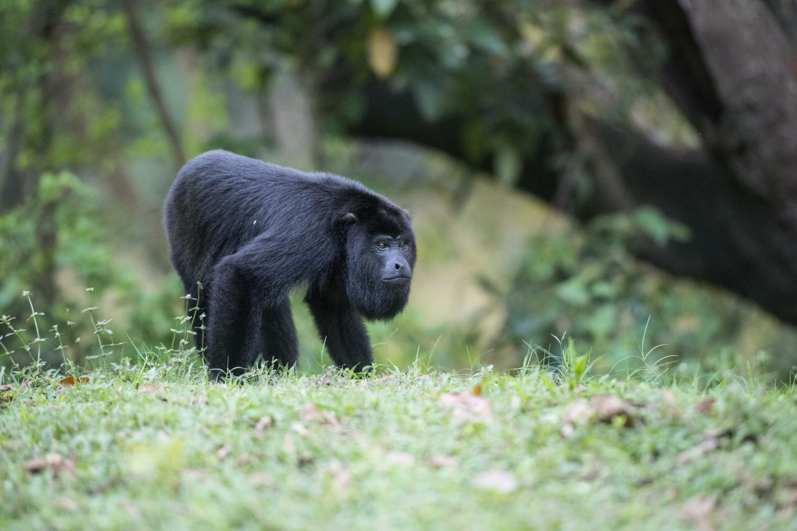 9 Places in Belize for Animal Lovers baboon