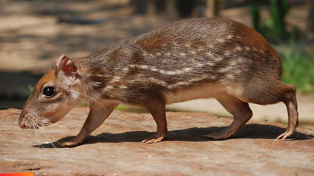 Gibnut, royal rat | 7 Weird animals you didn't know existed in Belize