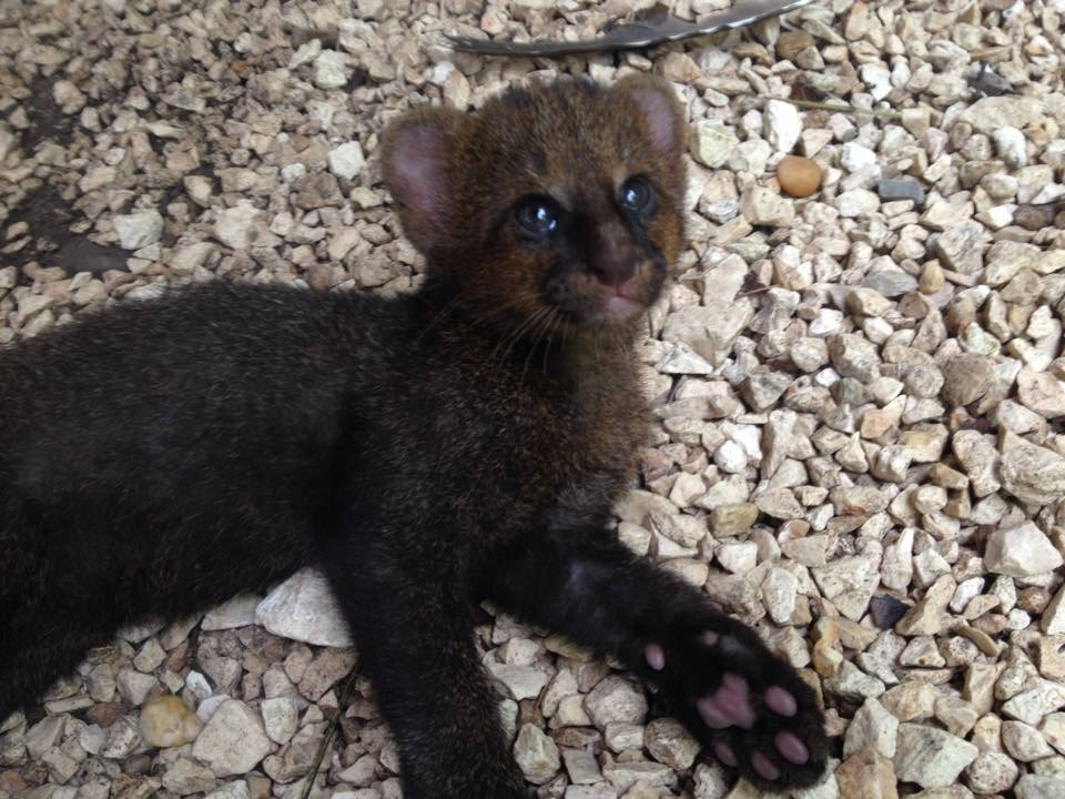Jaguarundi | 7 Weird animals you didn't know existed in Belize