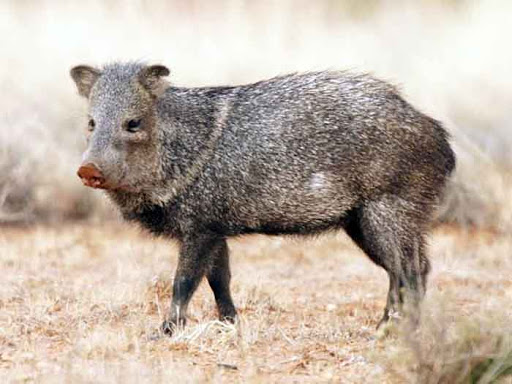 Peccary | 7 Weird animals you didn't know existed in Belize